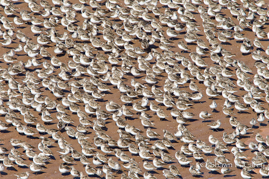 Semipalmated Sandpipers (Bay of Fundy)