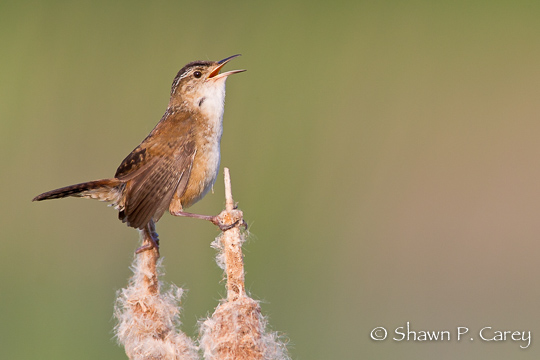 Marsh Wren Great Meadows National Wildlife Refuge