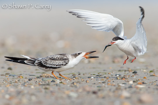 Skimmer & Common Tern