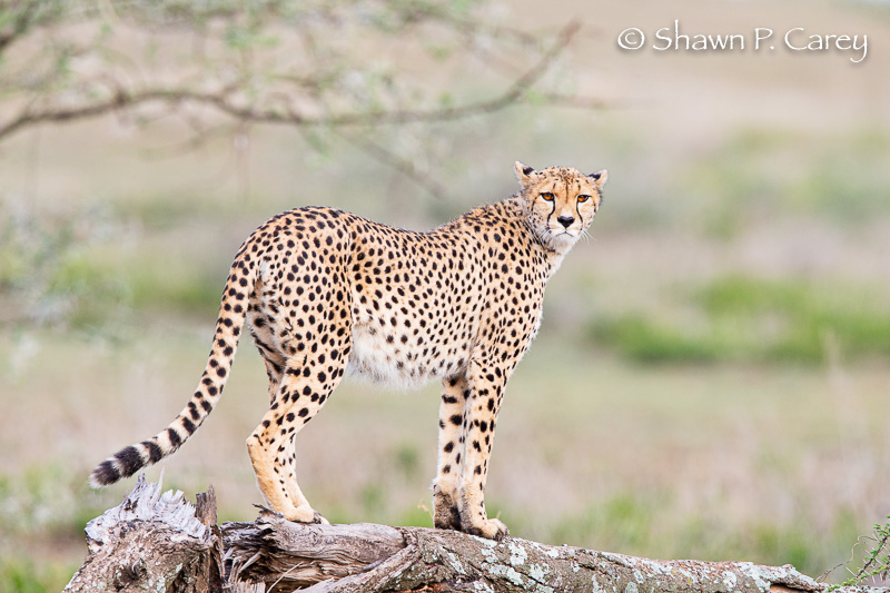 Cheetah, Ndutu/Ngorongoro Conservation Area