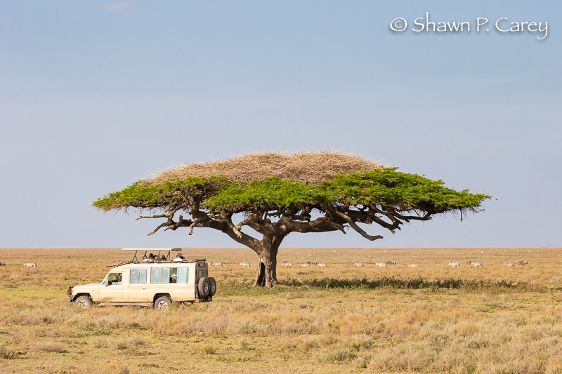 Safari vehicle and Acacia Tree